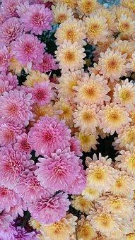 Flower, Chrysanthemum, Blossom, Plant, Autumn, Garden