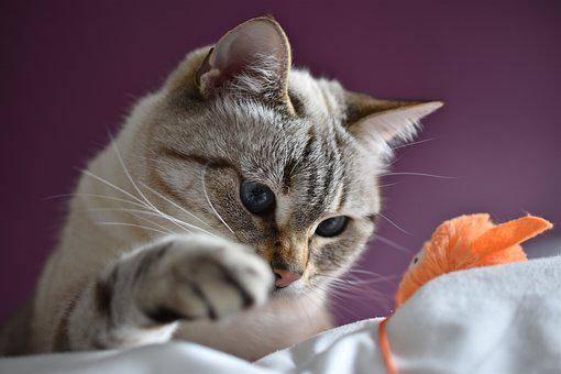 Cat, Eyes, Blue, Play, Paw, Feline, Cute, Animal