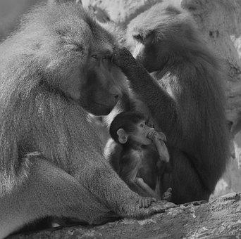 Baboon, Monkey, Animal, Nature, Mammal, Primate, Grey