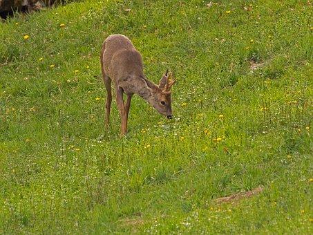 Roe Deer, Wild Animal, Forest Dwellers, Red Deer, Wild