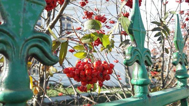 Plants, Red Rowan, Rowan, Nature, Autumn, Fruit