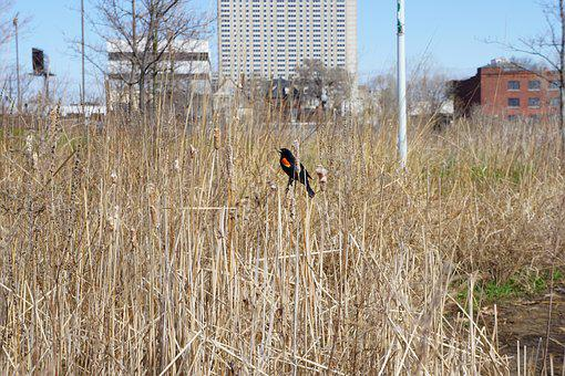 Red-winged Blackbird, City, State Park, Detroit, Nature