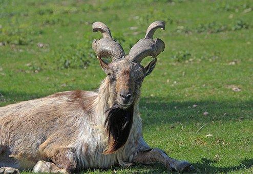 Screw A Goat, Bock, Nature, Animal, Horns, Animal World