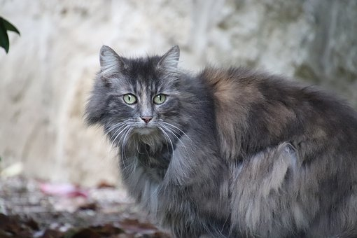 Cat, Angora, Grey, Shades Of Grey, Wool, Fluffy