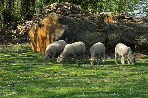 Lambs, Sheep, Normandy, Livestock, Farm, Field, Pre