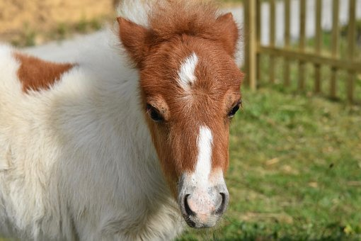 Pony, Shetland Pony, Small Horse, Foal, Fur Brown White