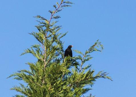 Thrush, Blackbirds, Beak, Nest, Green, Shrub, Bird
