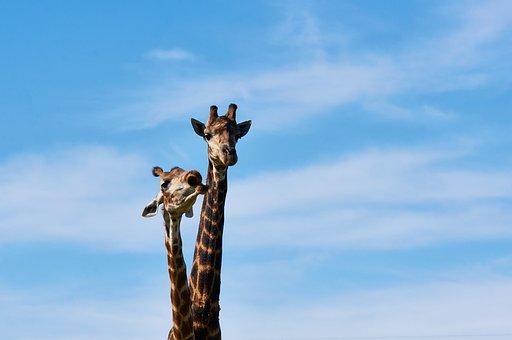South Africa, Safari, Animal World, Nature, Giraffe