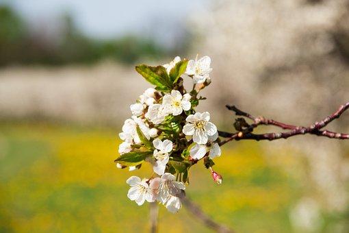 Cherry, Cherry Blossom, Branch, Spring, Blossom, Bloom