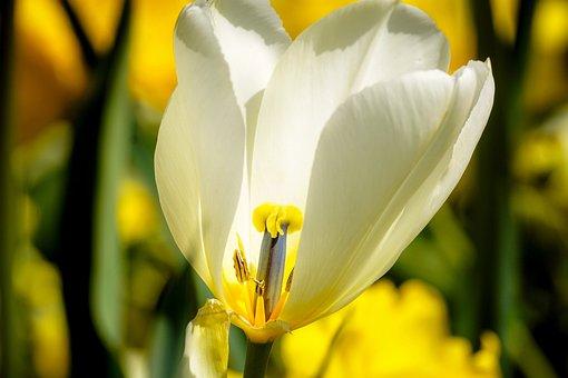 Tulip, Blossom, Bloom, Spring, Spring Flower