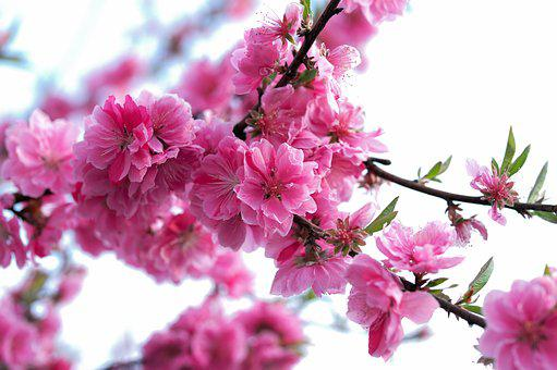 Flower, Spring, Nature, Beautiful, Bee, Pink, Flowers