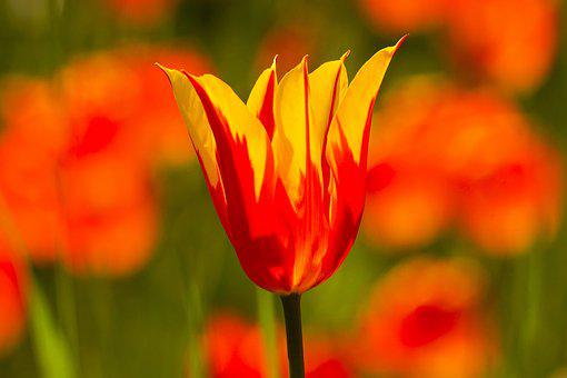 Tulips, Flowers, Spring, Spring Flowers, Yellow, Red
