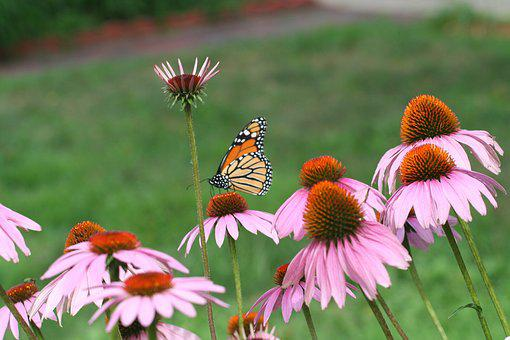 Cone Flower, Monarch, Summer, Pollination, Wildflowers