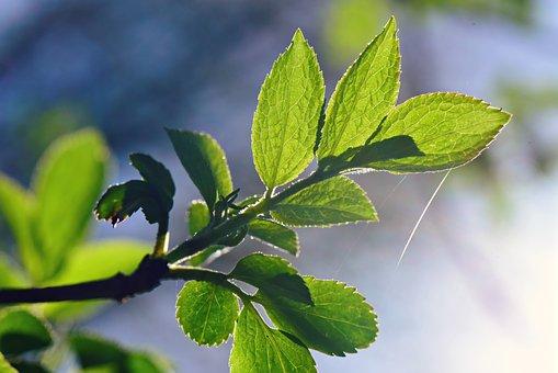 Leaf, Foliage, Twig, Vein, Pattern, Green, Young Green