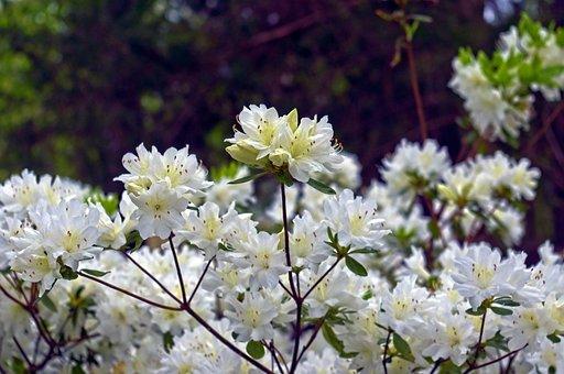White Azaleas In The Ozarks, Blossoms, Azalea, Bloom