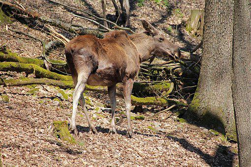 Young Moose, Wild Animal, Forest, Animal World, Nature