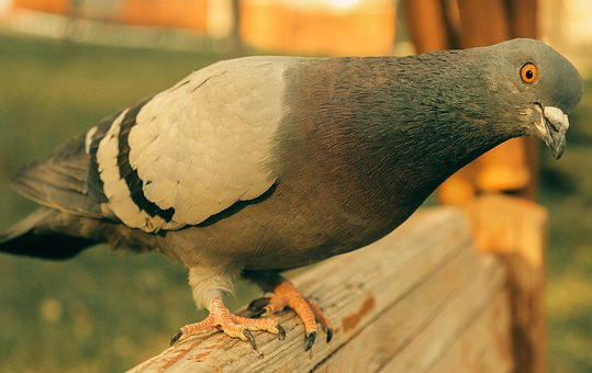 The Pigeon Is Sitting On The Bench, Wild Pigeon