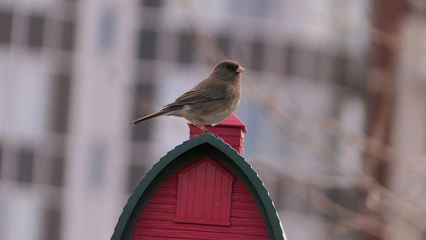 Dark-eyed Junco, Bird, Nature, Wildlife, Canada