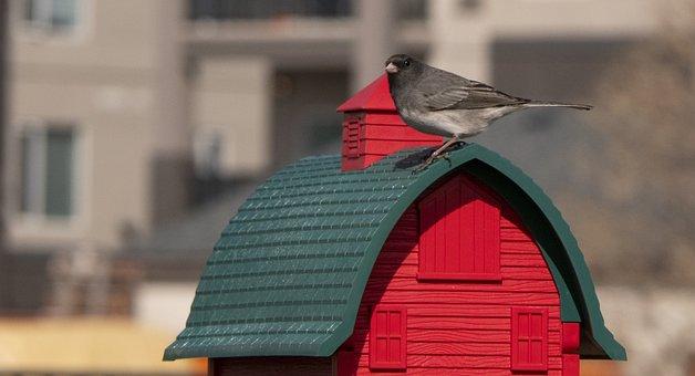 Junco, Dark-eyed Junco, Bird, Nature, Wildlife, Canada