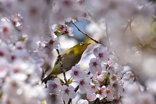 Animal, Plant, Wood, Flowers, Cherry Blossoms, Bird