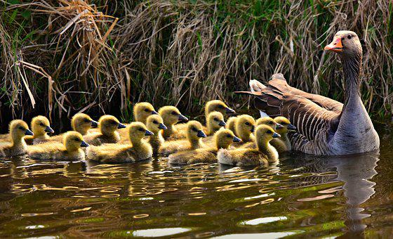Goose, Gosling, Chick, Animal, Young, Fluff, Down