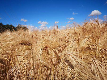 Wheat, Harvest, Agriculture, Grain, Summer, Nature
