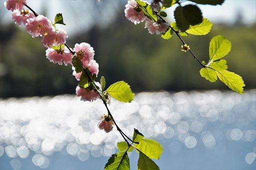 Almond, Flowering, Pink, Spring, Flower, Twig