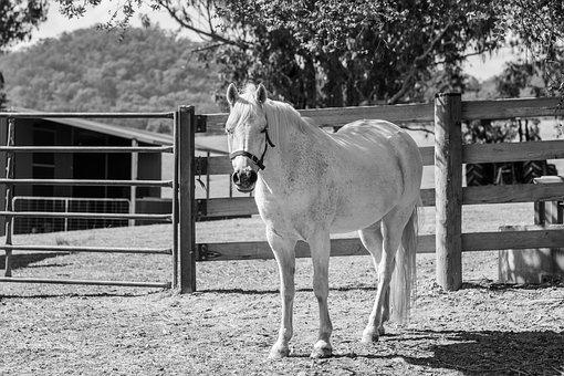 Pony, Horse, Australian Pony, Animal, Equine, Mammal