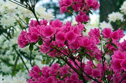 Pink Over White Azaleas, Blossoms, Azalea, Bloom