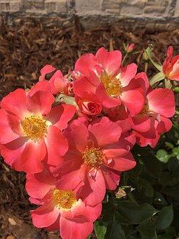 Roses, Yellow, Flowers, Petals, Salmon, Bark, Rose