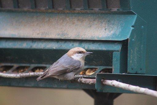 Nuthatch, Bird, Bi, Nature, Wildlife, Cute, Beak