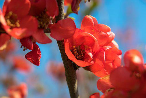 Bill Quince, Quince, Blossom, Bloom, Red, Bush, Bloom