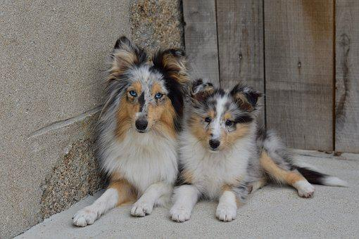Dogs, Bitches, The Female Shetland Sheepdog