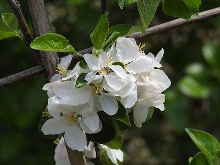 Apple Blossom, Blossom, Bloom, Apple Tree, Branch