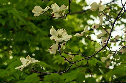 Dogwood Blossoms In Arkansas, Dogwood, Blossom, Bloom