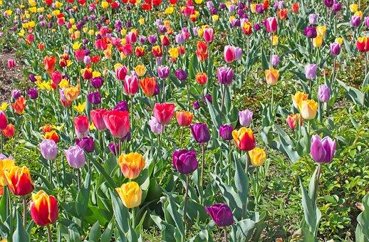 Tulips, Tulip Field, Spring, Tulpenbluete, Bloom