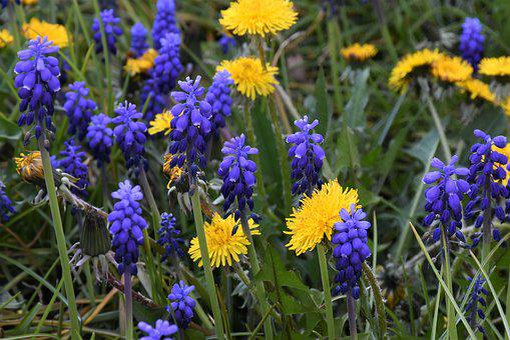 Muscari, Dandelion, Blossom, Bloom, Flower, Blue