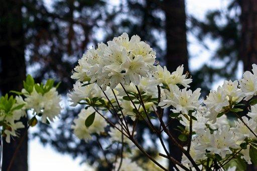 White Azaleas In The Pines, Blossoms, Azalea, Bloom