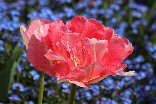 Spring, Pink Tulip, Blue Aubrieta, Blossom, Blooming