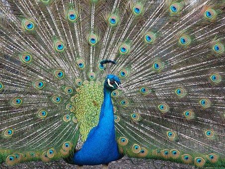 Peacock, Blue, Asian Peacock, Plumage, Colorful