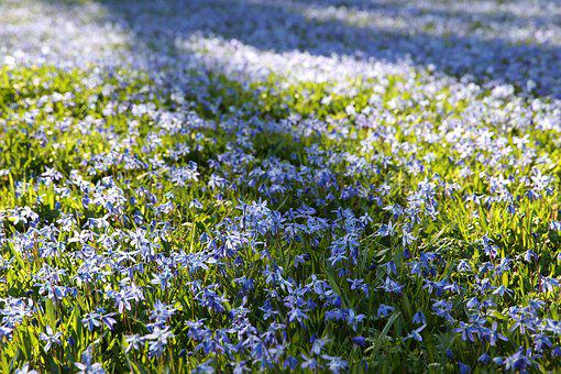 Scilla, Spring, Spring Flower, Blue Star