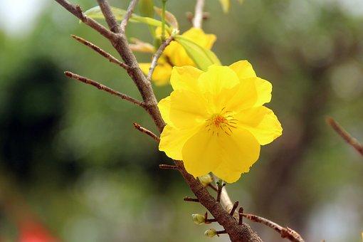 Yellow Apricot Blossoms, Flower, Plant, Botanical