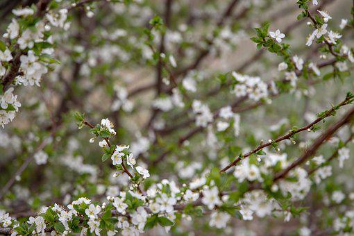 Spring, Flowering Tree, Bloom, Branch, Flowers, White