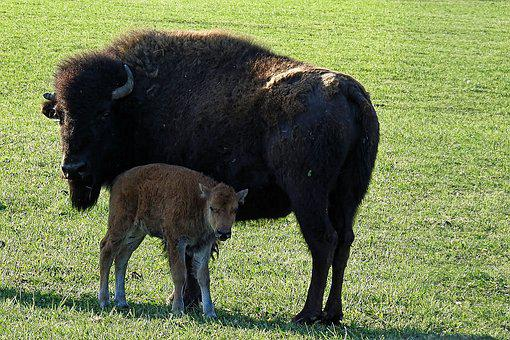 Bison, Calf, Buffalo, Buffalo Calf, Animal, Nature, Fur