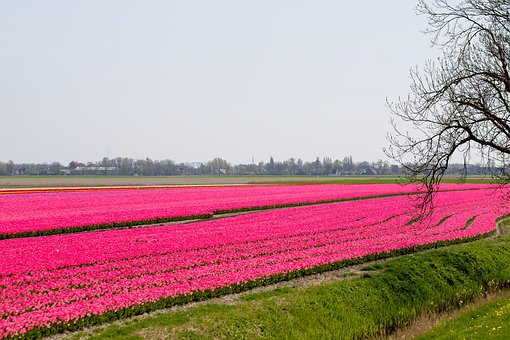 Bulbs, Bulb Fields, Tulips, Colors, Bulb, Tulip