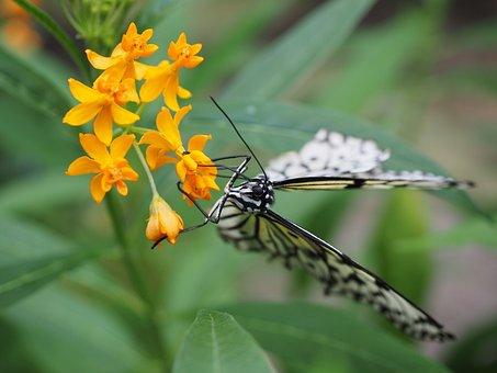Butterfly, White Black, White Baumnymphe
