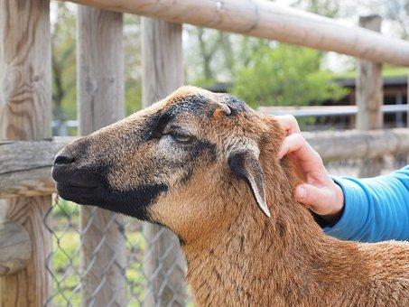 Cameroon Sheep, Sheep, Stroke, Hair Breed Of Sheep