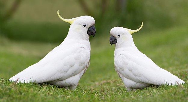 Birds, Cockatoos, Australian, Native