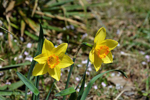 Daffodils, Wildflowers, Natural, Spring, Yellow, Blooms