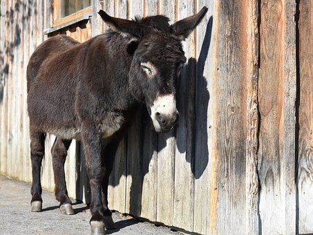 Donkey, Pregnant, Offside, Dormant, Wooden Wall